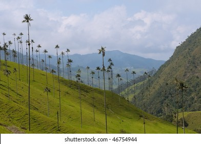 Vax palm trees of Cocora Valley, colombia