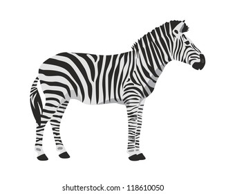 Vector zebra on white background