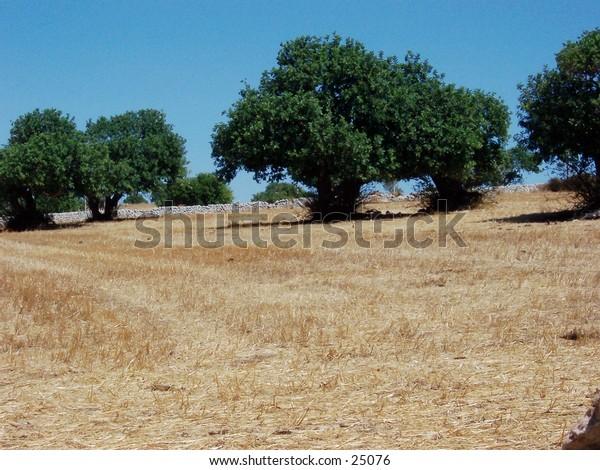 Veduta di campagna ragusana (Sicilia), con alberi di carrubo, in Estate. Sicily, Ragusa's country landscape, with carob trees, in the Summertime.