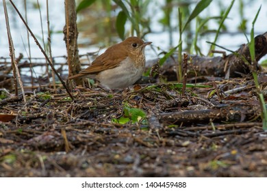Veery standing on the wet ground at the edge of the water. Ashbridges Bay Parh, Toronto, Ontario, Canada.
