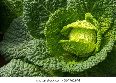 Vegetable background. Closeup The leaves savoy cabbage