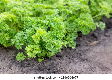 Vegetable bed with parsley