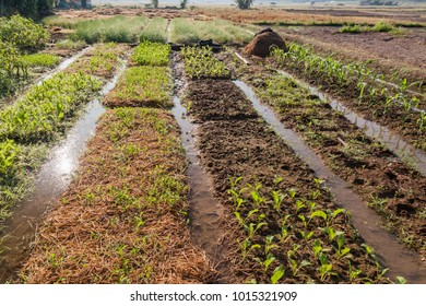 Vegetable cultivation Planting crops