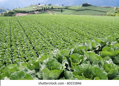 vegetable field.