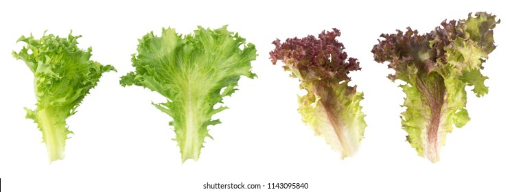 Vegetable, Fresh Red and Green Oak Lettuce Leaves Isolated on A White Background.