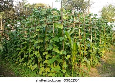 Vegetable Garden: Bean plant