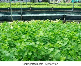 vegetable garden , celery planting