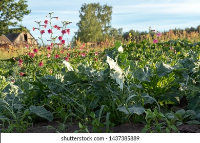 Vegetable garden cultivation, gardening with permaculture principles. Traditional countryside landscape with green Eco-friendly vegetable patch