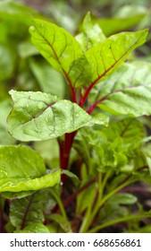 Vegetable garden with fresh mangold