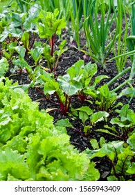 Vegetable garden with fresh produce and healthy medicinal herbs. Lettuce, onion, beetroot and many other herbs growing in the permaculture farm,