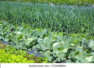 A vegetable garden with fresh salad, cabbages and leeks
