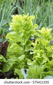 Vegetable garden with green vegetables growing. Healthy organic food.
