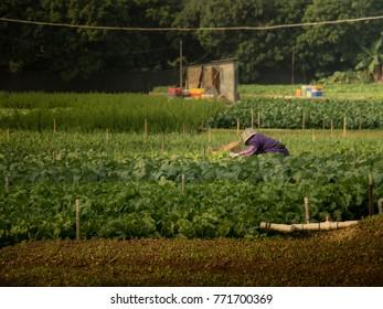 Vegetable garden mixed vegetable