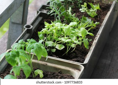Vegetable garden on a terrace. Herbs, tomatoes seedling growing in container