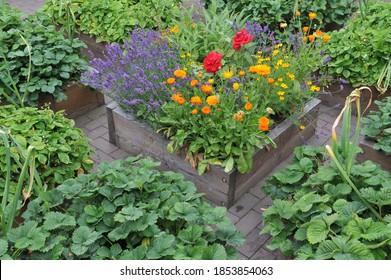 A vegetable garden with raised wooden beds with strawberries, garlic and flowers in July