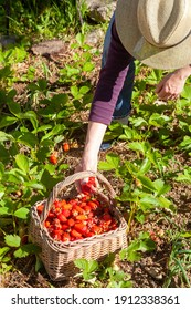 In the vegetable garden - woman harvesting strawberries