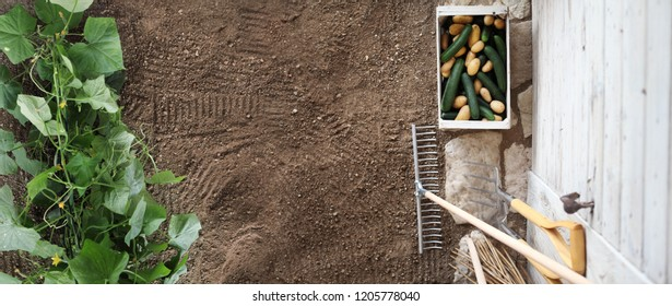 vegetable garden work concept, cucumber and potatoes in wodden box near gardening tools on wooden white wall, top view, copy space banner template
