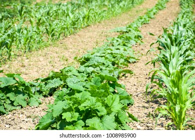 Vegetable garden with zucchini and corn. Vegetable beds in the garden. Weed beds