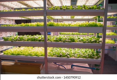 Vegetable grow with artificial LED lighting in indoor vertical agriculture