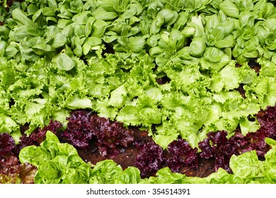 vegetable growing in the agricultural farm (frillice iceberg lettuce, Brassica chinensis, red coral, cos)