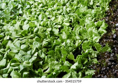 vegetable growing in the agricultural farm (frillice iceberg lettuce, Brassica chinensis, red oak)