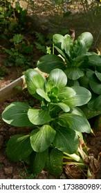 Vegetable growing in the garden