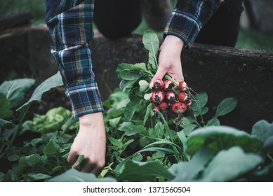 Vegetable harvest. Hands holding a fresh radish from small farm. Concept of agricultural. Young woman picking root vegetables.