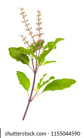 Vegetable and Herb, Fresh Oganic Holy Basil, Ocimum Sanctum or Tulsi Isolated on White Background.