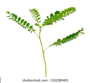 Vegetable and Herb, Fresh Phyllanthus Niruri, Gale of The Wind, Seed Under Leaf or Stonebreaker Plant Isolated on White Background. Used as Healthy Foods and Herbal Medicines.