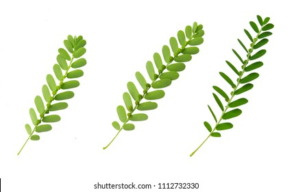 Vegetable and Herb, Fresh Phyllanthus Niruri, Gale of The Wind, Seed Under Leaf or Stonebreaker Leaves Isolated on White Background. Used as Healthy Foods and Herbal Medicines.
