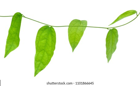 Vegetable and Herb, Fresh Tiliacora Triandra or Bai Ya Nang Leaves on The Branch Isolated on White Background. Used as Healthy Foods and Herbal Medicines.