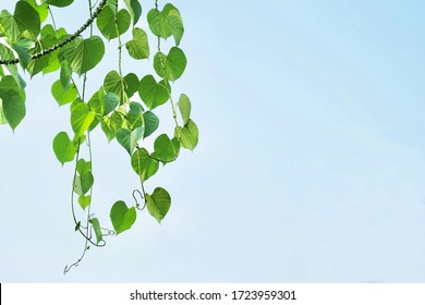 Vegetable and Herb, Tinospora Cordifolia, Guduchi, Giloy or Heart Leaved Moonseed Plant Against on Blue Sky. Use in Traditional Medicine to Treat Various Diseases.