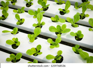 Vegetable hydroponic system / young and fresh green cos lettuce salad growing garden hydroponic farm plants on water without soil agriculture in the greenhouse organic for health food