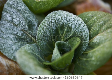 Vegetable leaf
