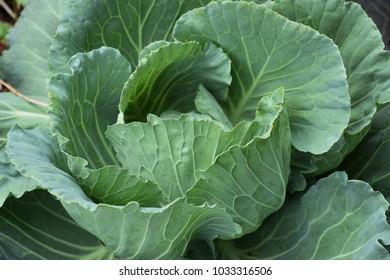vegetable lettuce green leafy vegetable