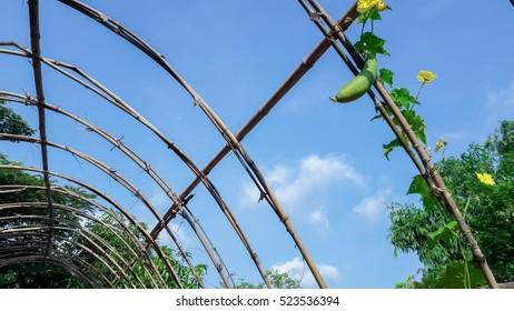 Vegetable marrow in the garden