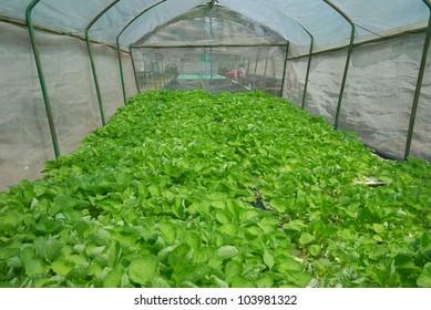 vegetable in nursery farm