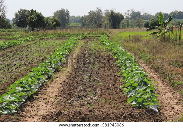 Vegetable patch in Thailand