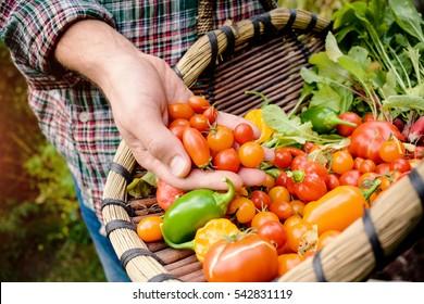 Vegetable picking â?? fresh vegetables in a basket