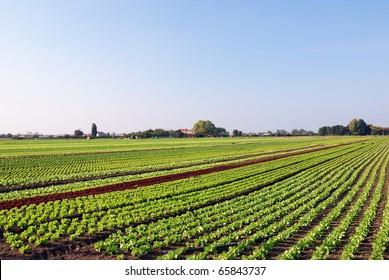 vegetable planting under blue sky