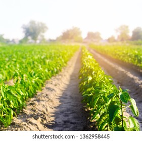 vegetable rows of pepper grow in the field. farming, agriculture, eco-friendly agricultural products, agroindustry, closeup
