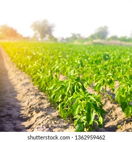 vegetable rows of pepper grow in the field. farming, agriculture, vegetables, eco-friendly agricultural products, agroindustry. Landscape with agricultural land