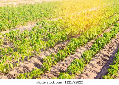 vegetable rows of pepper grow in the field.farming, agriculture, vegetables, eco-friendly agricultural products, agroindustry