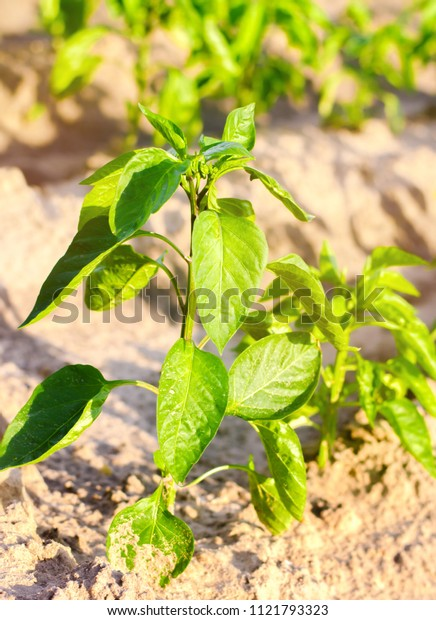 vegetable rows of pepper grow in the field.farming, agriculture, vegetables, eco-friendly agricultural products, agroindustry, close-up