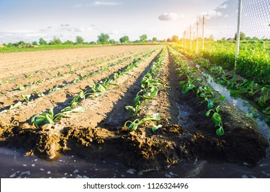 vegetable rows of young cabbage grow in the field. farming, agriculture. agroindustry.