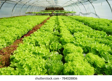 Vegetable salads are grown in hydroponic systems in greenhouses, to maintain and protect pests, so consumers have to eat salad with good quality.