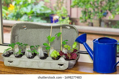 Vegetable seedlings growing in reused egg box outside on raised garden bed. Recycle, reuse to reduce waste and grow your own food.