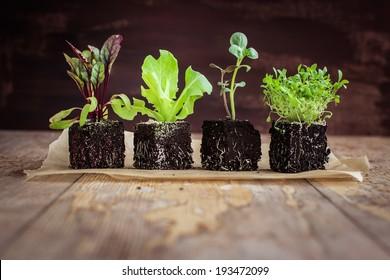 Vegetable seedlings  on rustic wooden table. Selective focus.