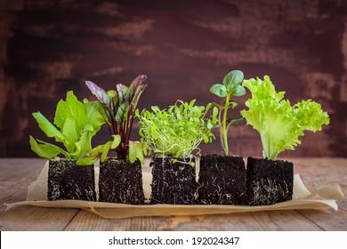 Vegetable seedlings. Selective focus.