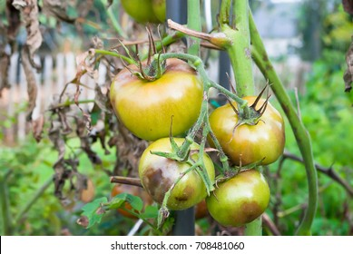 Vegetable, tomato plant problems  and sickness ,too much water cause of rain, sun scald, fruit of tomato has spot on with blurry background of  dry leave . Summer garden in europe without green house.